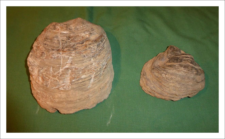 Conchiglie fossili antichissime